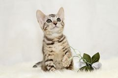 Bengal kitten with a brown paper flower Royalty Free Stock Image