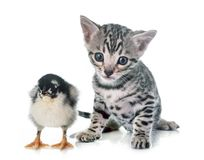 Bengal kitten and chick. In front of white background Royalty Free Stock Images