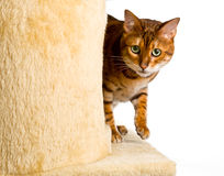 Bengal kitten creeps round corner Royalty Free Stock Photo
