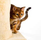 Bengal kitten creeps round corner Royalty Free Stock Image
