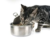 Bengal kitten eating stock images