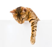 Bengal kitten with empty board.  on white background Royalty Free Stock Images
