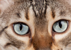 Bengal kitten eyes in macro close up Stock Photos