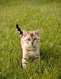 Bengal Kitten facing camera. Young Bengal Kitten facing the camera as it strolls through the grass royalty free stock photo