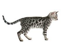 Bengal kitten Stock Image