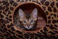 Bengal kitten. Funny bengal kitten at home Royalty Free Stock Photos