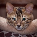 Bengal kitten. Funny bengal kitten at home Royalty Free Stock Images