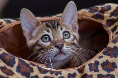 Bengal kitten. Funny bengal kitten at home Royalty Free Stock Photography