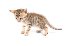 Bengal kitten isolated Royalty Free Stock Images