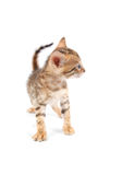 Bengal kitten isolated Royalty Free Stock Photography