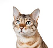 Bengal kitten looking plaintively into air Stock Images