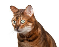 Bengal kitten looking shocked and staring Stock Photography