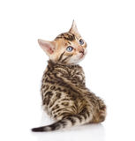 Bengal kitten looks back. isolated on white background Royalty Free Stock Photo