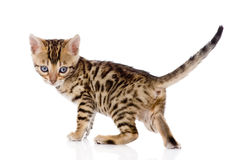 Bengal kitten looks back. isolated on white background Royalty Free Stock Image