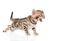 Bengal kitten meowing. isolated on white background Royalty Free Stock Images