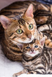 Bengal kitten with mommy. Beautiful 4 week old bengal kitten with mommy Stock Photos