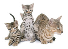 Bengal kitten and mother Stock Images