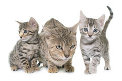 Bengal kitten and mother Royalty Free Stock Photos