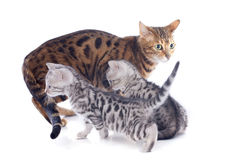 Bengal kitten and mother Royalty Free Stock Image