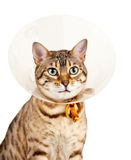 Bengal kitten with neck collar. Bengal cat looking sad in neck collar to stop it licking a wound stock images