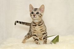 Bengal kitten with a paper flower Royalty Free Stock Photos