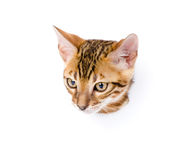 Bengal kitten in paper side torn hole. isolated on white Royalty Free Stock Photography