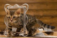 Bengal kitten passes through the frame Stock Images