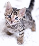 Bengal kitten played. And looks into eyes Stock Image