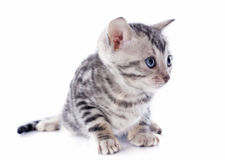 Bengal kitten Royalty Free Stock Photography