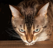 Bengal cat peering through cardboard box Royalty Free Stock Photography