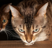 Bengal cat peering through cardboard box. Bengal kitten seeking food and pushing its head through a cardboard box with second cat behind royalty free stock image