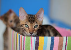Bengal kitten sitting in colorful box. Bengal cute kitten sitting in colorful box Royalty Free Stock Photos