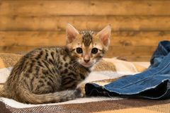 Bengal kitten sitting near the jeans and. Look Royalty Free Stock Image