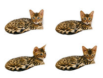 Bengal kitten during sleep and after. Stock Photo