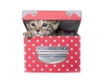 Bengal kitten in studi Royalty Free Stock Photo