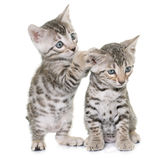 Bengal kitten in studi Stock Photography
