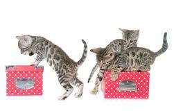 Bengal kitten in studi Royalty Free Stock Photos