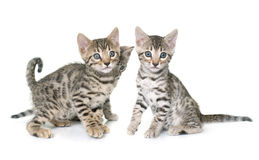 Bengal kitten in studi Stock Image