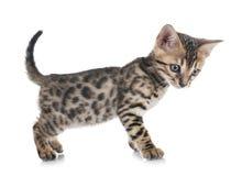 Bengal kitten in studio stock images