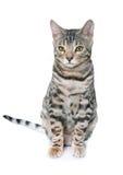 Bengal kitten in studio Royalty Free Stock Photos