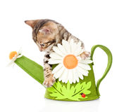 Bengal kitten in a toy watering can. isolated on white backgroun Royalty Free Stock Photos