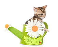 Bengal kitten in a toy watering can. isolated on white Stock Image