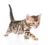Bengal kitten walking. isolated on white background Stock Photography