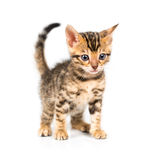 Bengal kitten on white background Royalty Free Stock Image