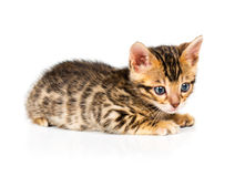Bengal kitten on white background Royalty Free Stock Photo