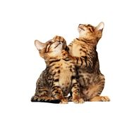 Bengal kittens. Playing with eachother on white background stock photo
