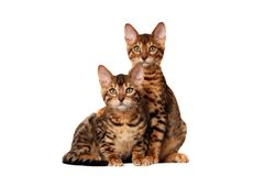 Bengal kittens. Paw on shoulder on white background stock image
