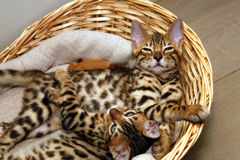 Bengal kittens in a basket Stock Images