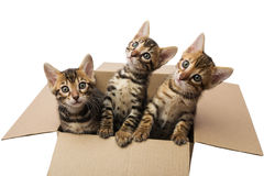 Bengal kittens. In a cardboard box Royalty Free Stock Images