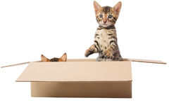 Bengal Kittens playing in a box. Two kittens are playing hide and seek in the box Stock Photography
